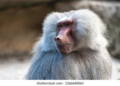 baboon monkey closeup portrait