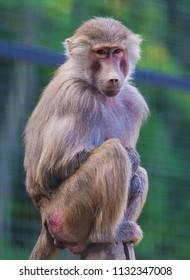 Baboon monkey ost on tree outdoor
