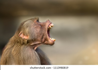 Baboon monkey (Pavian, genus Papio) screaming out loud with large open mouth and showing pronounced sharp teeth in a loud and aggressive behaviour display.