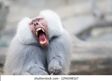 Baboon monkey Pavian, genus Papio screaming out loud with large open mouth and showing pronounced sharp teeth in a loud and dominant behaviour. Adult monkey grey fur hair.