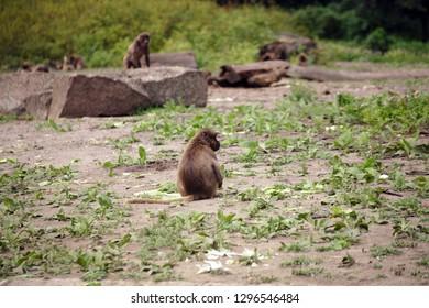 Baboon Monkeys in the Wildlife