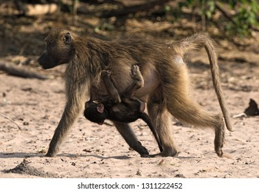 Baboon mother with a child on the bank of the Chobe River in Botswana