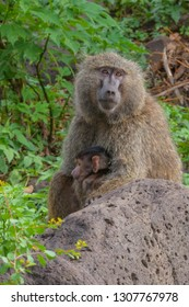 Baboon mother and her baby