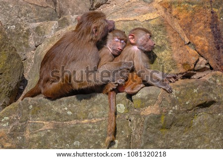 Baboon Mother Hugging Cute Babies Snoozing Stock Photo Edit Now