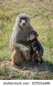 Baboon in National park of Kenya, Africa