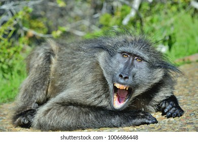 Baboon with open mouth   exposing canine teeth. The Chacma baboon (Papio ursinus), also known as the Cape baboon.