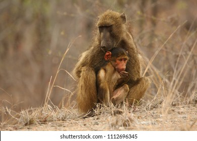 Baboon (Papio ursinus) mother hugs young cute baboon baby. Baboon love. Baboon family. Dry tree in brown background. Mother love.