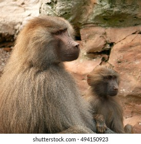 Baboon parent and young