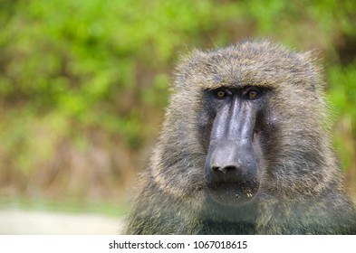 Baboon in Queen Elizabeth National Park, Uganda