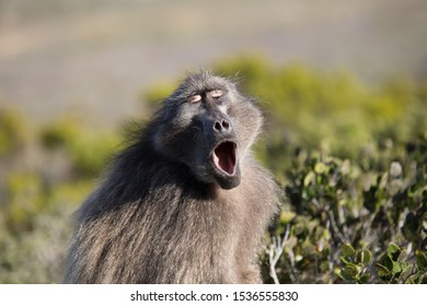 Baboon relaxed sitting in a tree