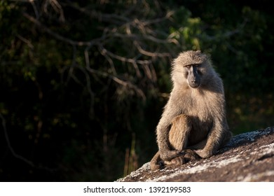 A baboon sits and waits in the late evening sun