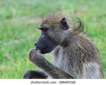 Baboon sitting on green grass eating