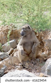 Baboon sitting on a rock