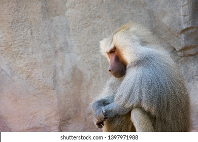 Baboon sitting in silence on a sunny day amongst a white rock wall, looking down with hands crossed in a sense, praying