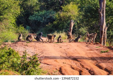 Baboon troop in South Africa