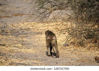 Baboon walking away in Chobe National Park, Botswana