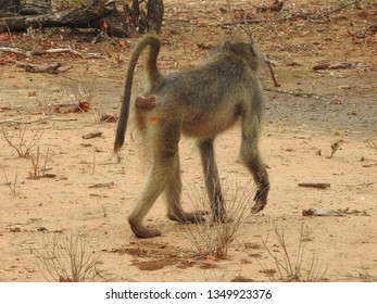 Baboon walking on the ground.