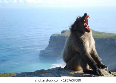 Baboon yawning at the Cape Point in South Africa