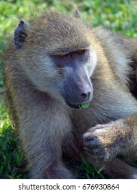 Baboons are African Old World monkeys belonging to the genus Papio, part of the subfamily Cercopithecinae.There are five species, which are some of the largest non-hominid members of the primate order