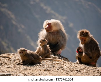 Baboons up in the Al Souda Mountains in the Abha region, Saudi Arabia
