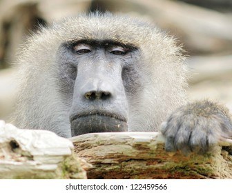 Baboon's face close-up