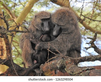 Baboons of Kenya