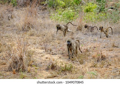 Baboons at Kruger National Park in South Africa