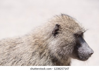 Baboon - Wikipedia