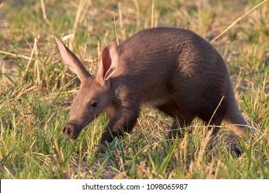 Baby Aardvark in the Okavango Delta, Botswana