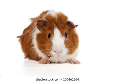 Baby Abyssinian Guinea Pig on white Background. (2 weeks old)