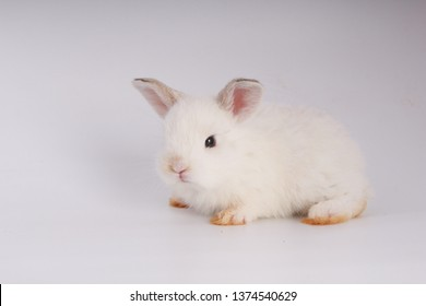 Baby adorable rabbit on white background. Young cute bunny in many action and color. Lovely pet with fluffy hair. Easter has rabbit as symbol celebration. Creamy white pink rabbit