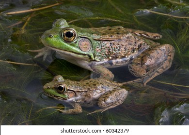 A baby and adult bull frog are sitting in a pond full of weeds.