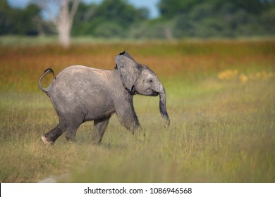 Baby African Bush Elephant, Loxodonta africana, running through a grassy savanna with several trees in the background. African wildlife photography. Moremi game reserve, Botswana.