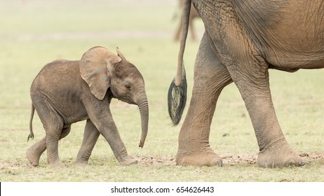Baby African Elephant following its mother in Kenya's Amboseli National Park