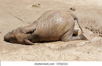 Baby African Elephant laying in the mud