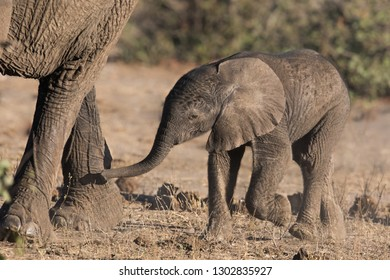 A baby African Elephant (Loxodonta africana) following its parent in the savanna, Kruger National Park, South Africa