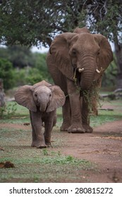 A baby African elephant walks ahead of it's mother as they move along an ancestral path in a game reserve in Botswana in Southern Africa.