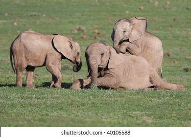 Baby African elephants playing together