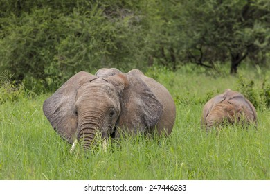 Baby african elephants walking in savannah in the Tarangire National Park, Tanzania