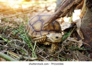 Baby African spurred tortoise at burrow entrance ,Big Geochelone sulcata in hollow ,The African spurred tortoise is the largest tortoise of the African mainland