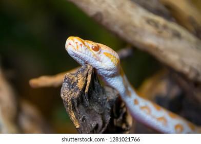 Baby albino python bored on a branch