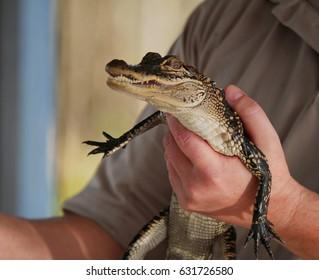 Baby Alligator Images Stock Photos Vectors Shutterstock
