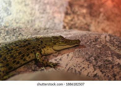 Baby Alligator resting on a log