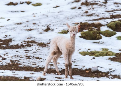 Baby Alpaca in the Andes mountains in Peru, South America.