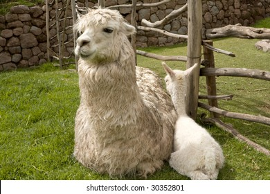 A Baby Alpaca only five days old and its mother in Peru, South America
