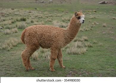 Baby Alpaca in Peru.  Baby Alpaca in Peru. Full body shot.