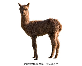 Baby Alpaca standing, isolated