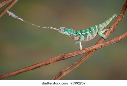 A baby Ambilobe Panther Chameleon is shooting out his tongue to catch a cricket.