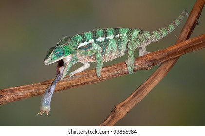 A baby Ambilobe Panther Chameleon is withdrawing his tongue after catching a cricket.