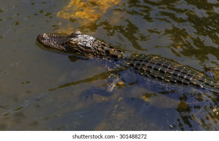 A Baby American Alligator Swims along a river.